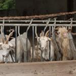 Castelmagno - Ziegen im Valle Grana