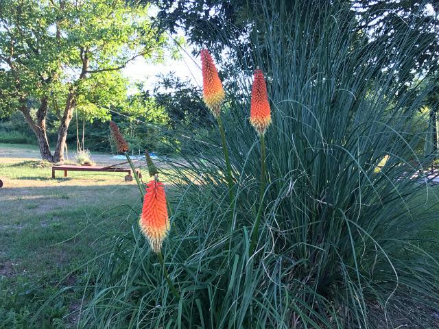 Fackellilien im Garten