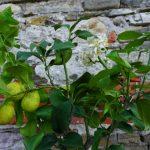 Unser ligurisches Zitronenbäumchen