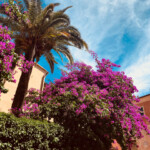 Bougainvillien in Varigotti