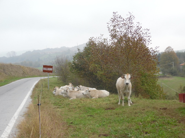 Razza Piemontese rasten am Straßenrand